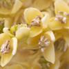 Как цветёт финиковая пальма?