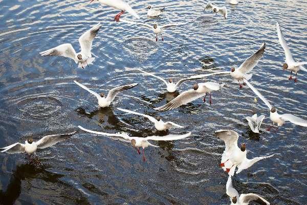 чайки в воде