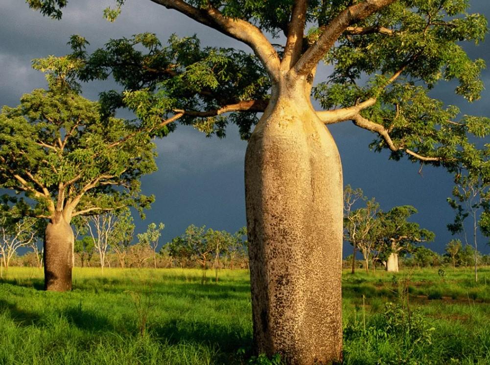 Тест: угадайте название дерева